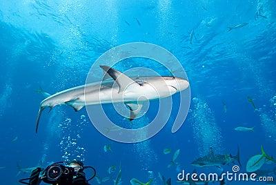 Reef Shark in Caribbean