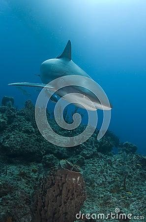 Free Reef Shark Close Stock Photos - 9135673