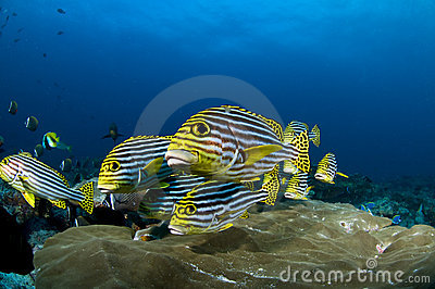 Reef and yellow fish, Indian ocean, Maldives