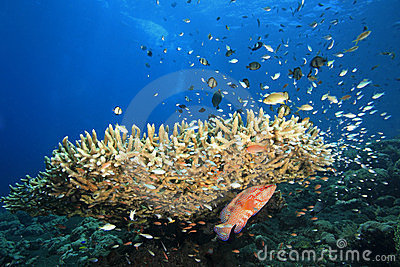 Reefscene with Fish and Corals