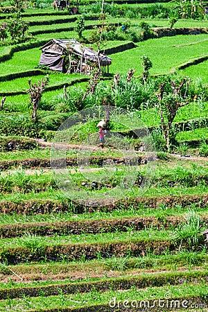 Reen rice field terrace