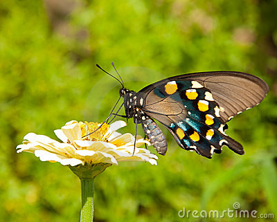 Reen Swallowtail Butterfly