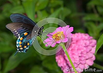 Reen Swallowtail Butterfly on Zinnia