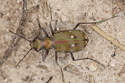 Reen tiger beetle (Cicindela campestris)