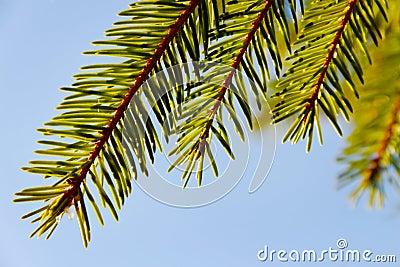 Refeição matinal da árvore de abeto.