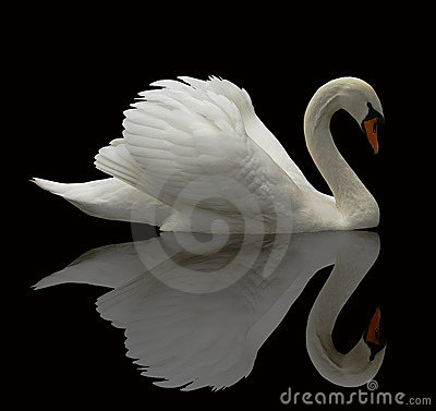 Reflected swan