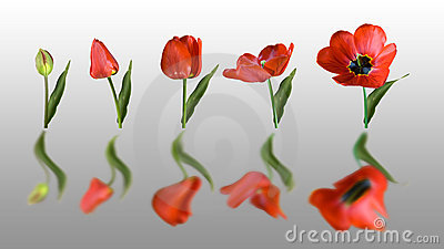 Reflected tulip