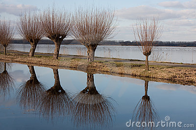 Reflected willows