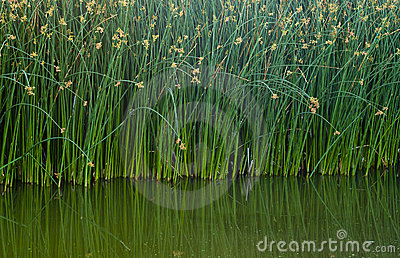 Reflecting Green Reeds