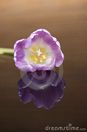 Reflecting tulip