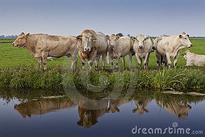 Reflection of cattle