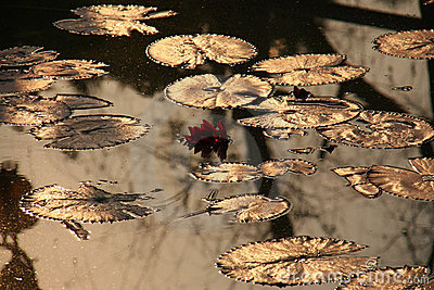 Reflection with lotus and leaf