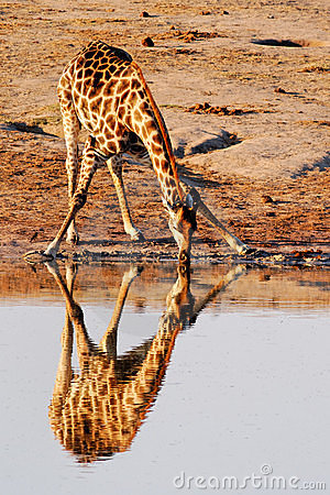 Free Reflection Of Giraffe Royalty Free Stock Photo - 16727965
