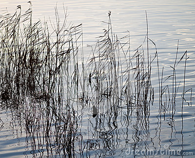 Reflections of grasses in water.