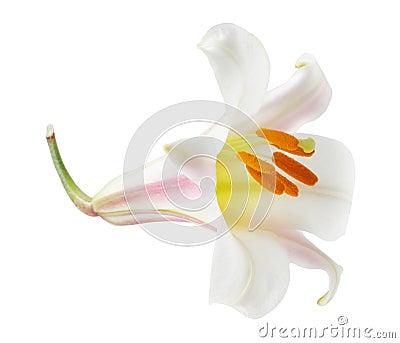 Regale Trumpet Lilium