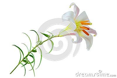 Regale Trumpet Lily