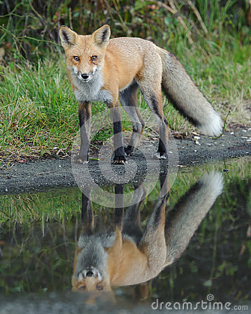 Regard de Fox rouge