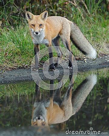 Regard de Fox rouge
