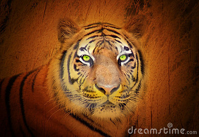 Regard fixe animal de tigre dans le sauvage
