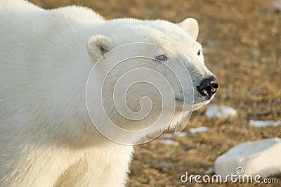 Regard fixe d ours blanc