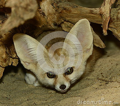 Regard fixe de Fennecus