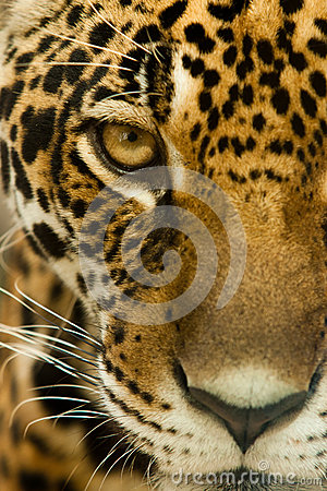 Regard fixe de léopard