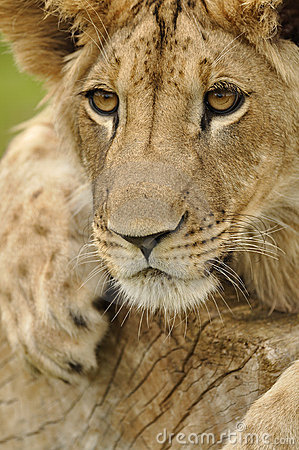 Regard fixe de lion