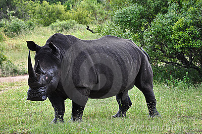 Regardez le rhinocéros