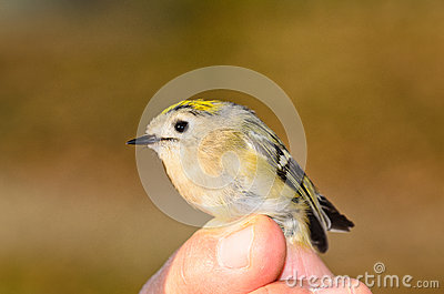 Regulus Goldcrest