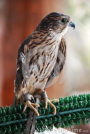 Rehabilitated Merlin