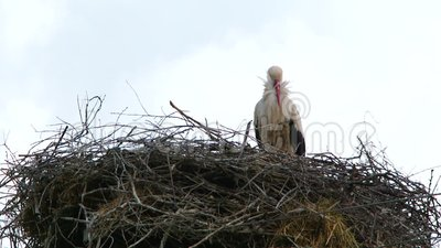 Reiger in een hoog nest stock videobeelden