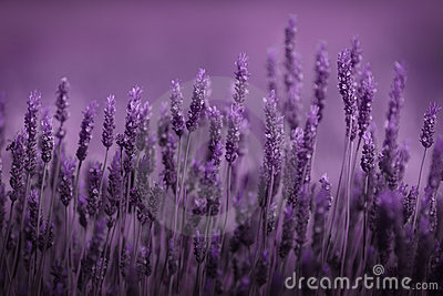 Reihe des Lavendels