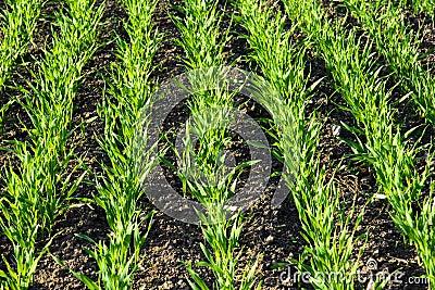Reihen auf dem wachsenden Getreidegebiet