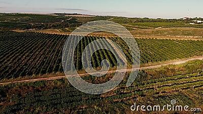 Reihen des Weinbergs bevor dem Ernten
