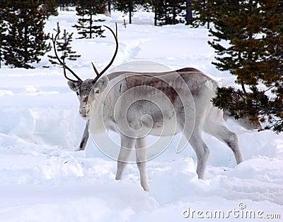 Reindeer-05