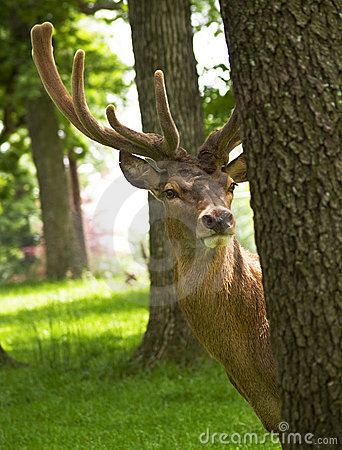 Free Reindeer Stock Photo - 5355550