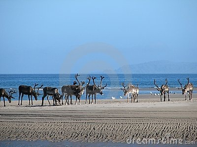 Reindeer on the beach