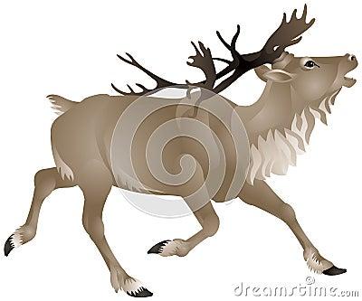 Reindeer or caribou in North America