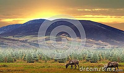 Reindeer grazing