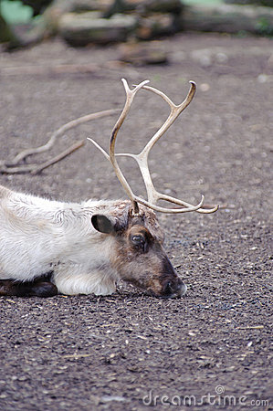 Reindeer has rest