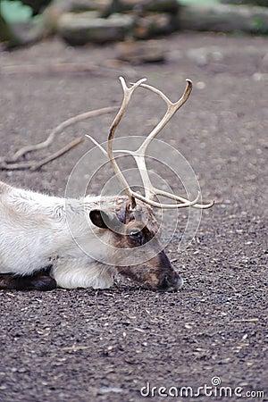 Reindeer has rest