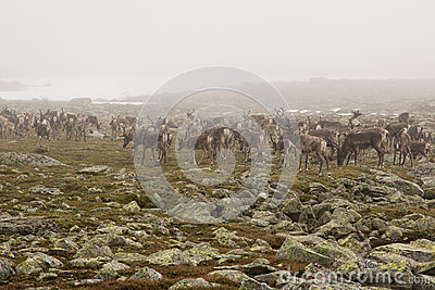 Reindeer herd in the fog