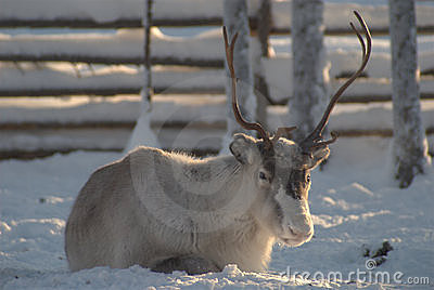 Reindeer with horns