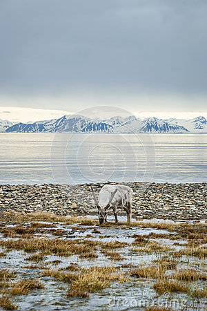 Free Reindeer In Arctic Summer Royalty Free Stock Images - 58609669