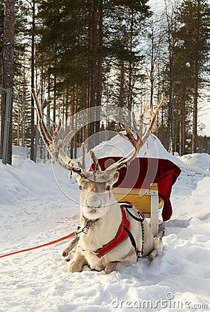 Free Reindeer In Harness Stock Photos - 30323793