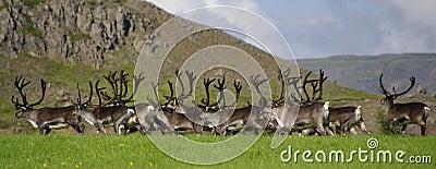 Reindeer ( Rangifer tarandus ) herd in Iceland