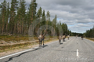 Reindeer on road