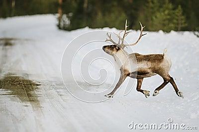 Reindeer in Scandinavia