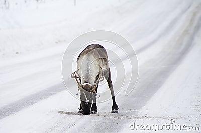 Reindeer on the street