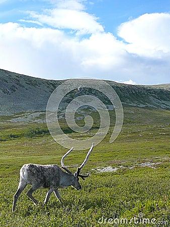 Reindeer walking